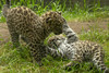 Rare Amur Leopard Cubs Born at the San Diego Zoo (San Diego Zoo Global) Tags: animals nature wildlife amur leopard cubs baby cats big kittens conservation