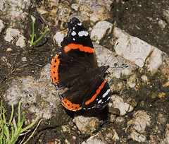"""Red Admiral Butterfly (vanessa atalan(6) • <a style=""""font-size:0.8em;"""" href=""""http://www.flickr.com/photos/57024565@N00/205014483/"""" target=""""_blank"""">View on Flickr</a>"""