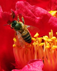 out of here (EssjayNZ) Tags: red flower closeup catchycolors pair 2006 bee pollen camellia essjaynz taken2006 5hits sarahmacmillan