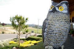 My New Pet (cwgoodroe) Tags: eye vineyard fake sunny plastic owl napa