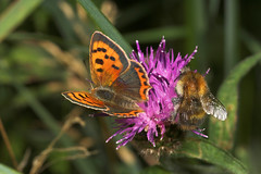 """Small Copper (lycaena phlaeas) Butterfly and Friend • <a style=""""font-size:0.8em;"""" href=""""http://www.flickr.com/photos/57024565@N00/207067511/"""" target=""""_blank"""">View on Flickr</a>"""