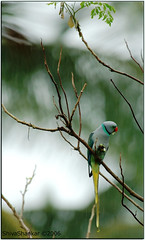 Malabar Parakeet (shivanayak) Tags: india male bird rain d70 magic joy monsoon parakeet shiva karnataka malabar karkala mansoon  shivanayak attributionnoncommercialsharealikelicense  malabarparakeet psittaculacolumboides psittacula specanimal animalkingdomelite abigfave malabarparakeetpsittaculacolumboidesmale columboides monsoonmagic mansoonjoy birdinrain monsoonjoy
