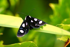 Eight-spotted Forester (Alypia octomaculata) (bigd0011768) Tags: bokehsoniceaugust bokehsoniceaugust11