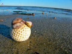 Cape Cod Beach Golf Ball (with Shells) (Chris Seufert) Tags: ocean beach ball golf ma massachusetts shell atlantic chatham cape cod slipper ridgevale utatafeature