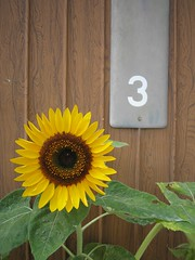 Sunflower At Number 3 (mtyto) Tags: white 3 flower yellow japan canon grey three number sunflower woodgrain fujinomiya ixy shizuokaprefecture canonixydigitall2 canonpowershotsd20 mtyto canondigitalixusi5