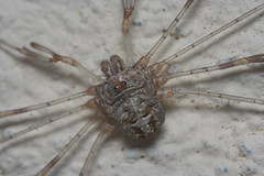 """Harvestman(3) • <a style=""""font-size:0.8em;"""" href=""""http://www.flickr.com/photos/57024565@N00/218612182/"""" target=""""_blank"""">View on Flickr</a>"""