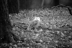 Snowy Owl (anikarenina) Tags: bw fall 35mm olympus om1 detroitzoo snowyowl