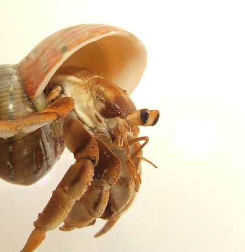 land hermit crab (Coenobita variabilis)