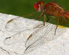 sunbathing (Alieh) Tags: macro nature iran dragonfly aliehs