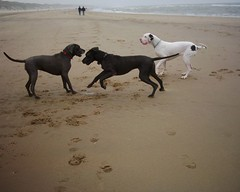 playing on the beach (aenee) Tags: blue white black beach dogs water strand fun see sand blauw spike yeti wit greatdanes duitsedog aenee xanttha yetiwhitegreatdane spikebluegreatdane xantthabluegreatdane