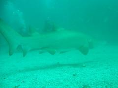 Shark wanders off (Mobile Hamish) Tags: shark scuba diving byronbay greynurseshark