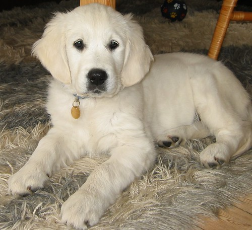 This is a 3 month old light Great Pyrenees 6 Months Old Weight
