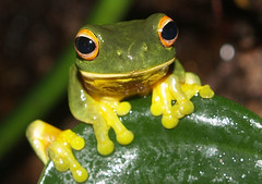 orange eyed green tree frog - by rainforest_harley