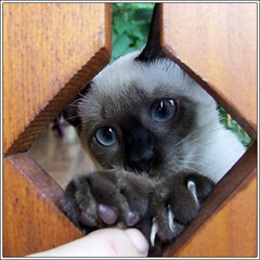 Hello! (Shalimar_u) Tags: cats animal cat interestingness siamese gato kot fujifinepix top20cats s5600 2for2 i500 explore03sep06 kissablecat kittystormtroopers