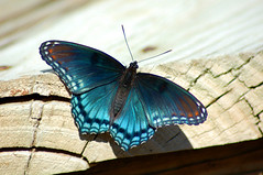 Blue Butterfly (wishymom (Stephanie Wallace Photography)) Tags: blue nature beauty butterfly illinois wings bright butterflies insects jesters instantfave animalkingdomelite