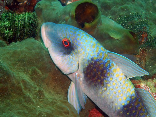 Spotted Soapfish (20 cm)