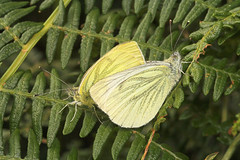 """Mating Green-veined Whites Butterflies (Pieris napi) • <a style=""""font-size:0.8em;"""" href=""""http://www.flickr.com/photos/57024565@N00/235900792/"""" target=""""_blank"""">View on Flickr</a>"""