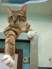 Jacky半夜不睡覺篇 (jacky elin) Tags: cats brown cat mix tabby jacky