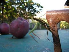 praying mantis_02 (mArcellvAgyok) Tags: macro nature bug mantis insect praying beetle locust prayingmantis crotchet mantisreligiosa rovar sska