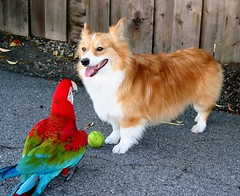 you know the rules, right? (sansanparrots) Tags: friends dog bird ball fun pembroke corgi play parrot pals chase macaw greenwingmacaw chowtime fluffycorgi kaleycorgi impressedbeauty