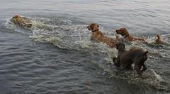 go-go-go ! (stefan0) Tags: usa beach dogs swim yellowlab catch hudson buster fetch nystate