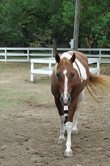 Paint mare (Saveena (AKA LHDugger)) Tags: horse favorite nature animal socks fauna female ilovenature paint mare all no tx lisa any h rights chestnut form blaze written ungulate without usage reserved equine equus allowed conroe consent equidae equuscaballus dugger quadruped herbivorous  texover saveena