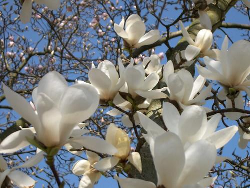 magnolia da philou500.