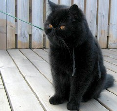 tinna in deep thought.. (arny johanns) Tags: pet black beautiful digital cat canon outside persian furry pretty gorgeous kitty patio exotic shorthair leash kisa kttur tinna ixus50 persi sweer impressedbeauty