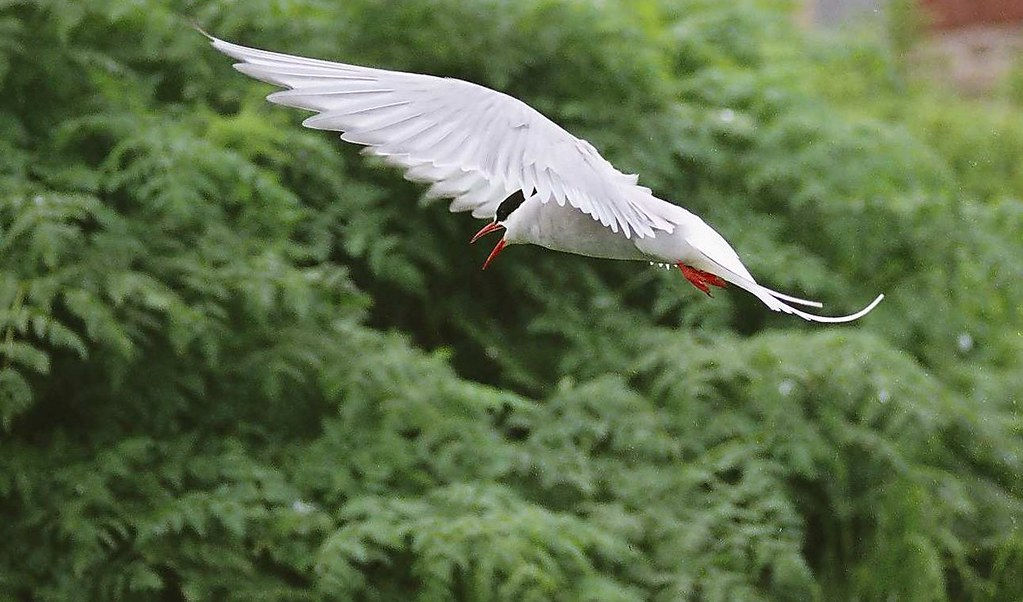 E29-Arctic Tern in Flight 3 Farnes 0605a