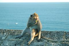lil rascal (rini aryani limanto) Tags: bali indonesia monkey tanahlot