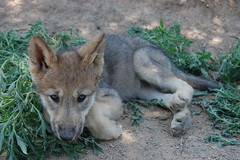 Sassy or Sasbarilla (Wild Spirit Wolf Sanctuary Wolves) Tags: puppy puppies wolf timber sassy wolves wildspiritwolfsanctuary pupsicle sasbarilla