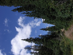 Pine trees along WIlliams Lake trail, Taos ski...