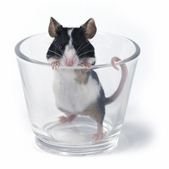 glass of... mouse (Mr D Trng) Tags: birthday christmas pet white holiday cute eye glass face look animal promotion feast gerbil mouse guinea rodent eyes furry rat funny looking crystal anniversary background tail valentine give celebration mice impatient hamster stare stray bonus annual curious facetoface staring celebrate decorate curiosity occasion pest vermin nosy impatience prying