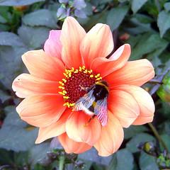 With humblebee (montagnes) Tags: bugs bredene top20flowersandbugs 2pair dahliade