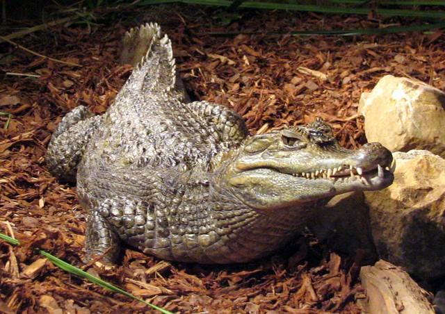 Crocodile at Noccalula Falls Park