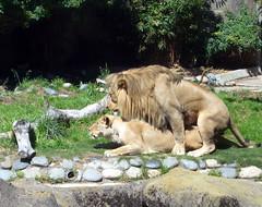 Animal Nature (Telstar Logistics) Tags: sanfrancisco zoo lion lions mating sanfranciscozoo