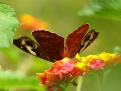only a dream .... (j_jyarbrough) Tags: flowers usa nature colors butterfly georgia bokeh explore karma lantana ilovebokeh jjyarbrough bonzag dreamylook thisphotoisthepropertyofjjyarbroughjohnyarbroughpleasedonotusewithoutmypermissionthankyou