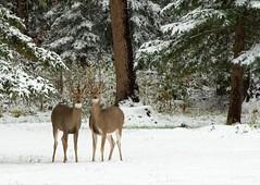 Young_Bucks.jpg (JJSchad) Tags: snow tag3 taggedout southdakota blackhills spearfishcanyon tag2 tag1 2006 september deer bucks 1on1 firstsnowfall abigfave