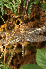 """Southern Hawker Dragonfly (Aeshna cyanea) Female • <a style=""""font-size:0.8em;"""" href=""""http://www.flickr.com/photos/57024565@N00/249797510/"""" target=""""_blank"""">View on Flickr</a>"""