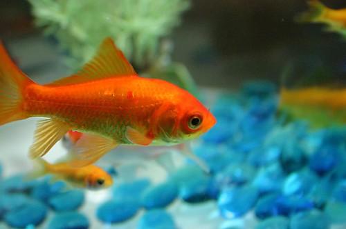 goldfish. goldfish
