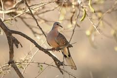 Spotted Dove (one of my favorite pictures) (hvhe1) Tags: india bravo pigeon dove wildlife hennie kanha specanimal abigfave hvhe1 hennievanheerden