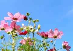 Cosmos in the sky 3 (tanakawho) Tags: pink autumn red white plant flower field yellow center cosmos