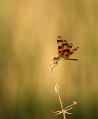 Dragonfly At Golden Sunset (lynne bernay-roman) Tags: sunset golden weed bravo dragonfly specanimal animalkingdomelite abigfave abigfav