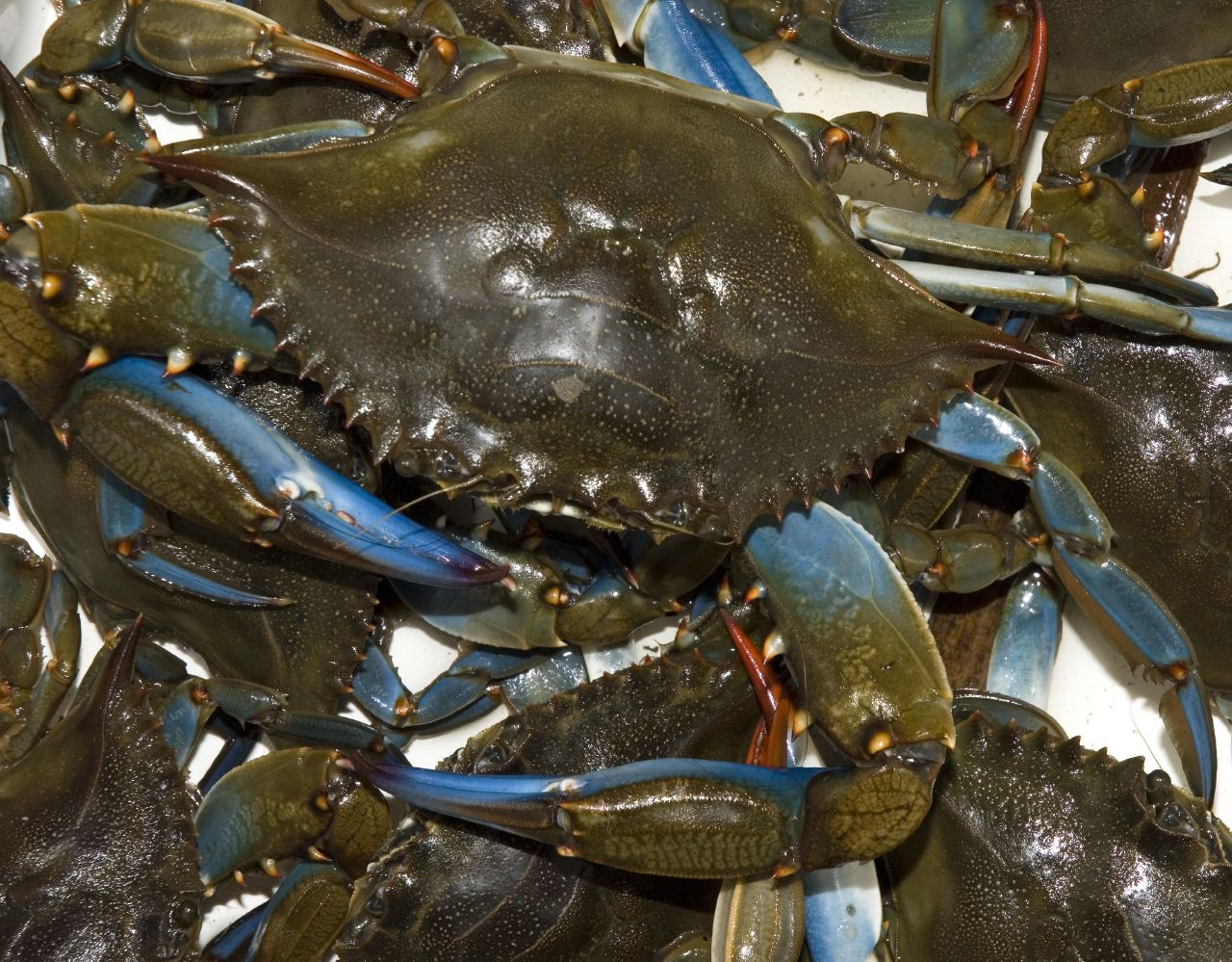 Blue Claws (crabs)