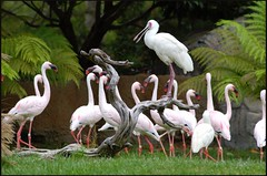 Pink Flamingoes (nkarkhan) Tags: zoo egret flamingoe