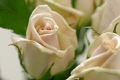 rose /eve