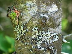 Bark (lefeber) Tags: plants tree forest treebark lichen