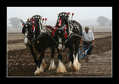 Loseley Park 14th Oct 2006 (strussler) Tags: leather bells canon eos 350d compton sigma surrey harness brass plough tack plumes shirehorses