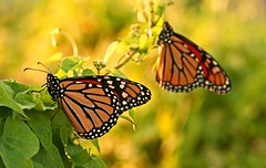 A Pair of Monarch's. (Picture Taker 2) Tags: nature closeup butterfly outdoors wings colorful pretty native monarch upclose animalkingdom animalkingdomelite