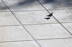 pigeon on the plaza - by vicki wolkins